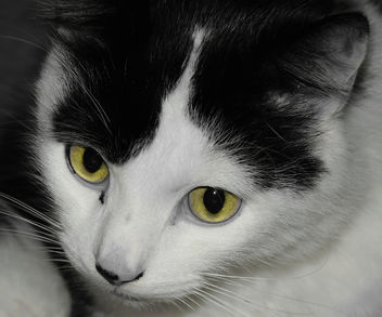Louis the Black and White Cat - image #403473 gratis