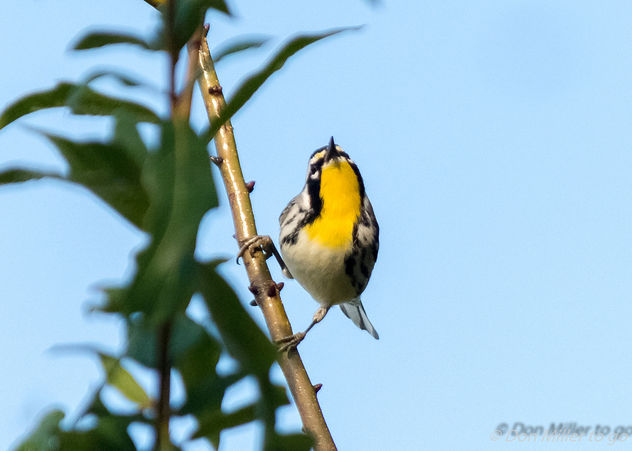 Yellow-throated Warbler showing off his throat - Free image #404243