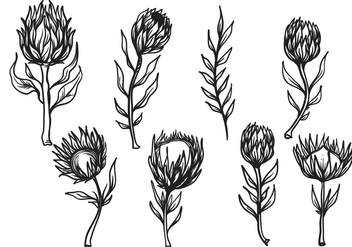 Free Hand Drawn Protea Flower Vector - Free vector #406083