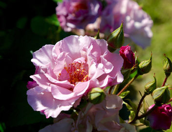 A Rose is a rose is a ray of sunshine - Free image #407963