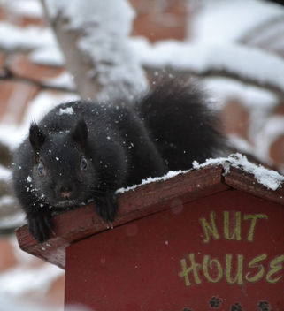 Squirrel Guarding The Nut House On A Snowy Day - бесплатный image #411123