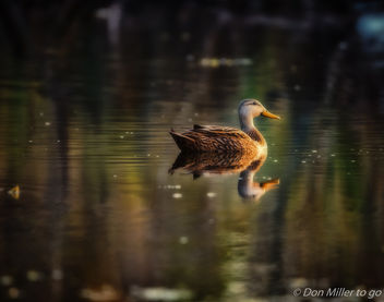 Duck on the Pond - image gratuit #411403