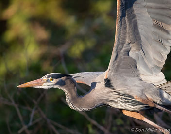 Great Blue Heron - image #412423 gratis