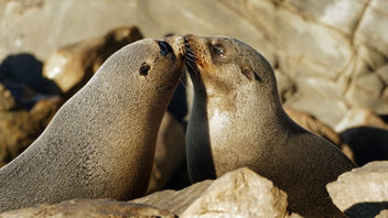 A touching moment. NZ Fur Seals. - image gratuit #412683