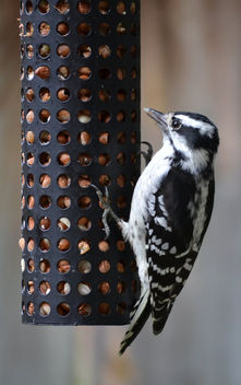 Female Downy Woodpecker At The Peanut Feeder - image gratuit #413093
