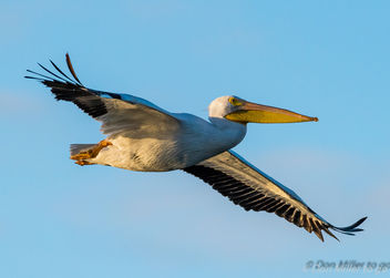 American White Pelican - Free image #414623