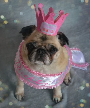 Happy Birthday Bailey Puggins! - image #415293 gratis