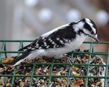 Female Downy Woodpecker - image gratuit #417353