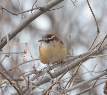 Carolina Wren (Thryothorus ludovicianus) at Sadler's Pond in Essex, Ontario - Kostenloses image #417763