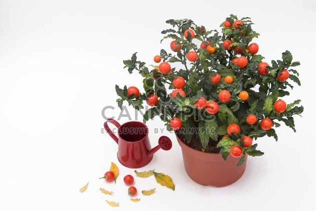 Solanum pseudocapsicum loneparent houseplant, red watering can on white background - Free image #419653