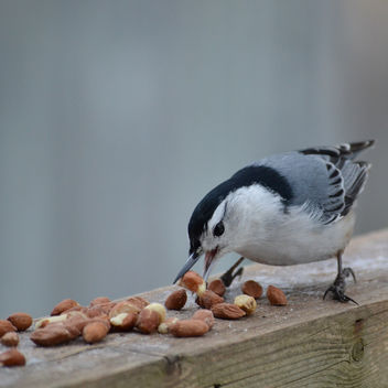White-breasted Nuthatch Dropping By For A Snack - image gratuit #421153