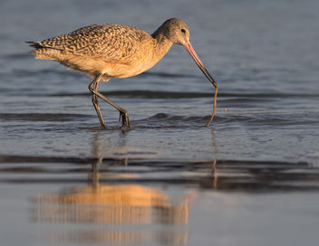Marbled Godwit with Aquatic Worm - Free image #421233