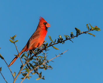 Male Cardinal - Kostenloses image #423423