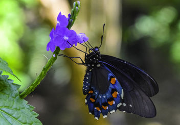 Pipevine Swallowtail Butterfly - бесплатный image #423933