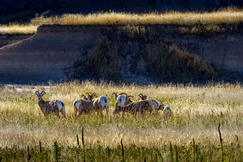 badlands bighorn sheep - image #424053 gratis