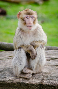 Barbary macaque - Free image #424803