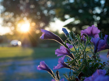 Flowers at sunset - Free image #424823