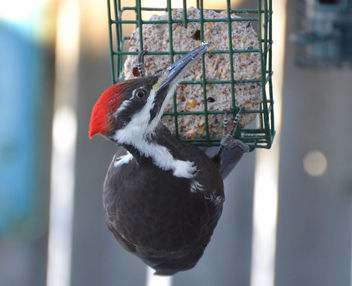 Be Still My Heart! A pileated woodpecker flew right beside me! - image #426943 gratis