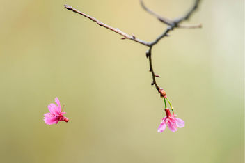 Falling Cherry Blossom - image gratuit #427183