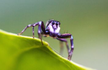 Alone jumping spider on green leaf - image #428763 gratis