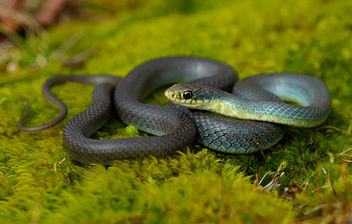 Eastern Yellow-Bellied Racer (Coluber constrictor flaviventris) - Free image #429763