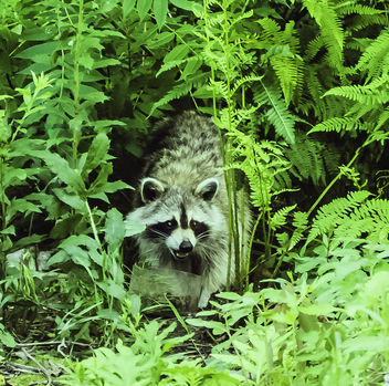A raccoon - Kostenloses image #432093