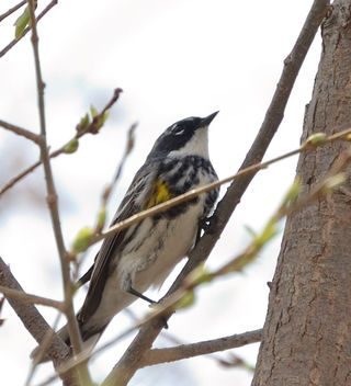 My first warbler of the year-a Yellow-rumped Warbler - image gratuit #432903