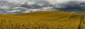 Rapeseed fields then did ignite - image #434393 gratis