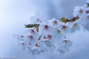 Dreamy Cherry Blossoms at Trinity Bellwoods - бесплатный image #434533