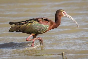 White-faced Ibis, breeding plumage - image #435693 gratis