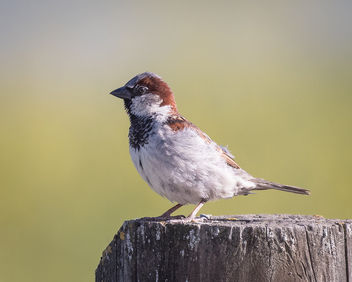 House Sparrow (m), Breeding Plumage - image #436093 gratis