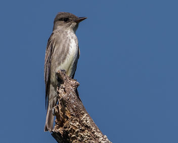 Olive-sided Flycatcher - image gratuit #436143