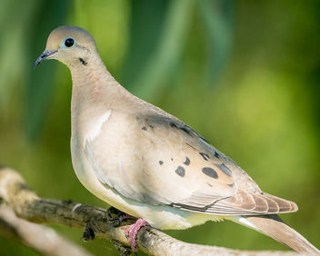 Mourning Dove - Free image #437323