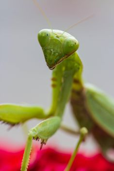 praying mantis on red rose - бесплатный image #439003