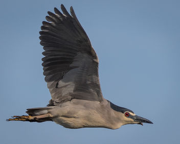 Black-crowned Night-Heron - image gratuit #439973