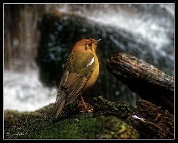Orange Headed Thrush - image gratuit #440983
