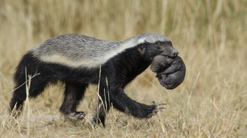 Honey badger, Mellivora capensis, carrying young pup in her mouth at Kgalagadi Transfrontier Park, Northern Cape, South Africa - Free image #441773