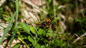 Chequered Skipper - image gratuit #442213