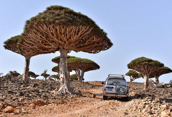 Dragon's Blood Trees - Free image #442873