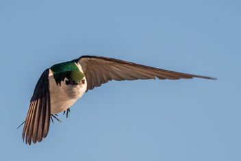 Violet-green Swallow - image #443723 gratis