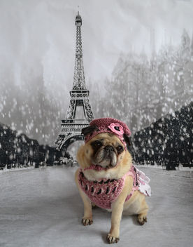 A Pug In Paris - image #443743 gratis