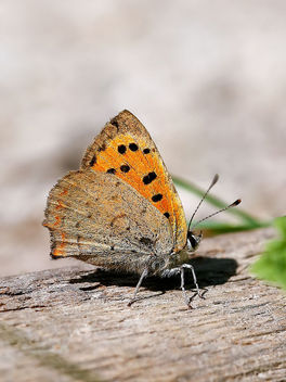 Small Copper - image gratuit #443813
