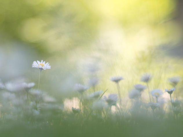 A meadow full of daisies - image #444883 gratis