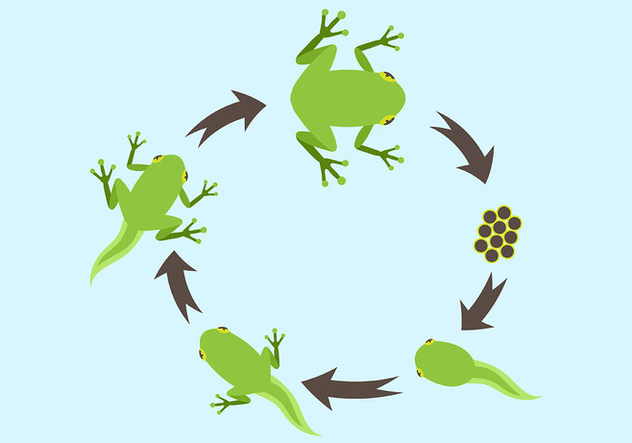 Life Cycle of a Frog Vector - Kostenloses vector #446003