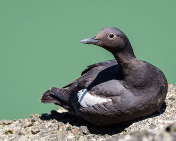 Pigeon Guillemot, breeding adult - бесплатный image #446113