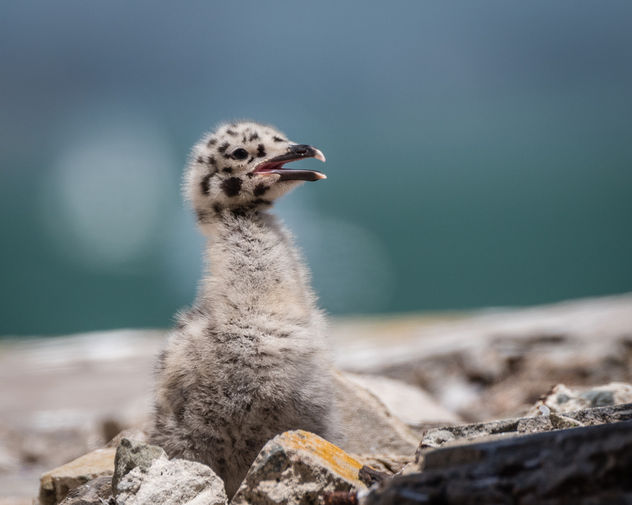 Western Gull Chick - Free image #446233