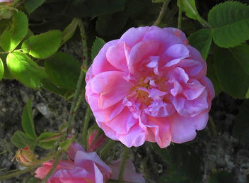 Turkey (Isparta) Pink rose - image #446763 gratis