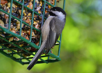 Chickadee At The Feeder - Free image #446953