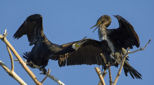 Fighting cormorants - Free image #447123