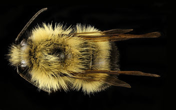 Bombus vagans, m, back, Centre Co., PA_2017-03-09-12.41 - бесплатный image #447183